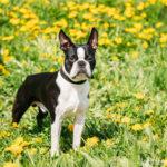 Boston Terrier - Wesen, Verhalten und Haltung des Hundes
