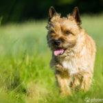 Cairn Terrier auf Wiese