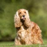 Cocker Spaniel - Wesen, Verhalten und Haltung des Hundes