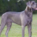 Deutsche Dogge – Wesen, Verhalten und Haltung des Hundes