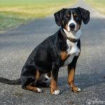 Entlebucher Sennenhund – Wesen, Verhalten und Haltung des Hundes