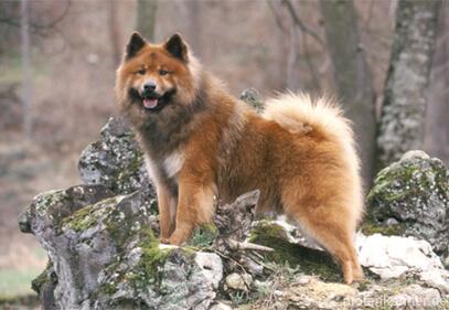 Eurasier – Wesen, Verhalten und Haltung des Hundes