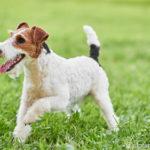 Drahthaariger Fox terrier über Wiese laufend
