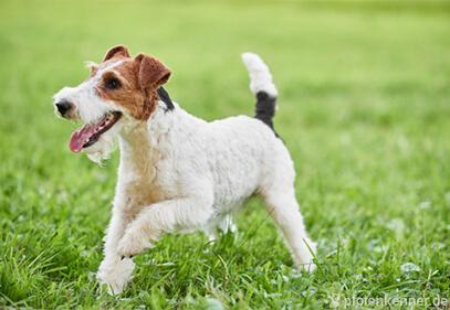 Foxterrier Drahthaar – Wesen, Verhalten und Haltung des Hundes
