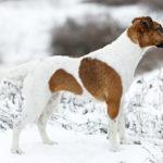 Glatthaariger Foxterrier seitlich stehend in Schneelandschaft