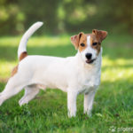 Jack Russell Terrier seitlich stehend auf Wiese