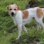 Kromfohrländer – Wesen, Verhalten und Haltung des Hundes
