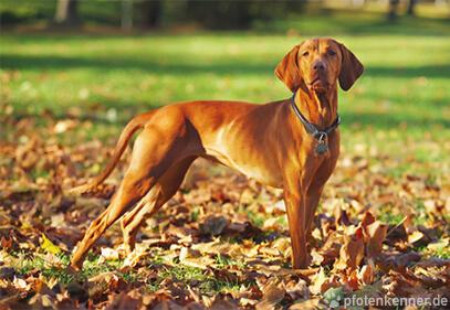Ungarischer Vorstehhund (Kurzhaar) stehend auf Laubboden