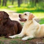 Zwei Labrador Retriever auf Waldweg liegend