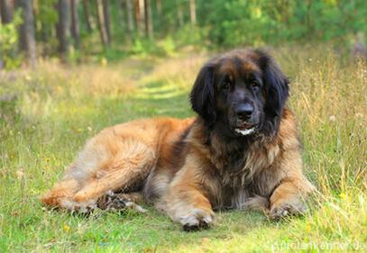 Leonberger – Wesen, Verhalten und Haltung des Hundes