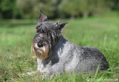 Schnauzer – Wesen, Verhalten und Haltung des Hundes