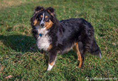 Shetland Sheepdog – Wesen, Verhalten und Haltung des Hundes