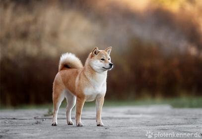 Shiba Inu stolz stehend