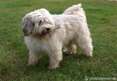 Tibet Terrier – Wesen, Verhalten und Haltung des Hundes