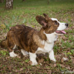 Welsh Corgi Cardigan - Wesen, Verhalten und Haltung des Hundes