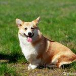 Welsh Corgi Pembroke - Wesen, Verhalten und Haltung des Hundes