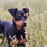 Zwergpinscher - Wesen, Verhalten und Haltung des Hundes