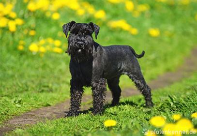 Zwergschnauzer – Wesen, Verhalten und Haltung des Hundes