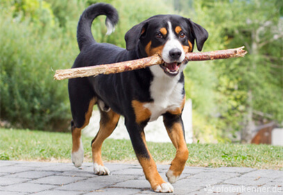 Appenzeller Sennenhund trägt Stöckchen