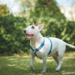 Bull Terrier spielt auf Wiese