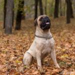 Bullmastiff – Wesen, Verhalten und Haltung des Hundes
