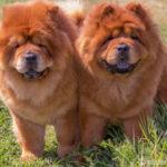 Zwei Chow Chows sitzen auf Wiese