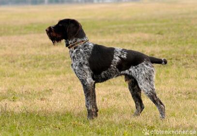 Deutsch Drahthaar – Wesen, Verhalten und Haltung des Hundes