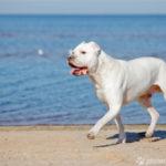 Dogo Argentino läuft am Strand
