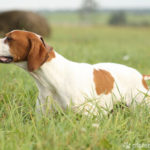 English Pointer im hohen Gras