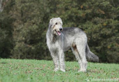 Irischer Wolfshund – Wesen, Verhalten und Haltung des Hundes