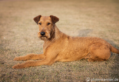 Irish Terrier liegt in der Sonne