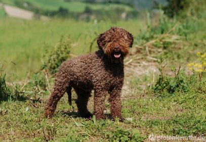 Lagotto Romagnolo – Wesen, Verhalten und Haltung des Hundes