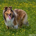 Langhaar-Collie auf Blumenwiese