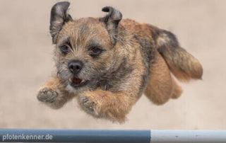 Hund der über Hürde bei Agilty-Training springt