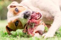 Hund der in Frischfleisch beisst.