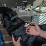 Hund wird beim Tierarzt mit Chip versehen