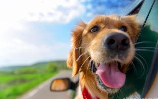Hund schaut aus Fenster eines fahrenden Autos