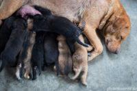 Hundewelpen trinken bei der Mutter