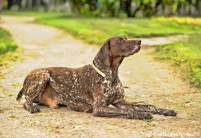 Deutsch Kurzhaar – Wesen, Verhalten und Haltung des Hundes