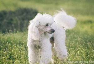 Pudel – Wesen, Verhalten und Haltung des Hundes