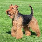 Welsh Terrier seitlich stehend auf grünem Rasen