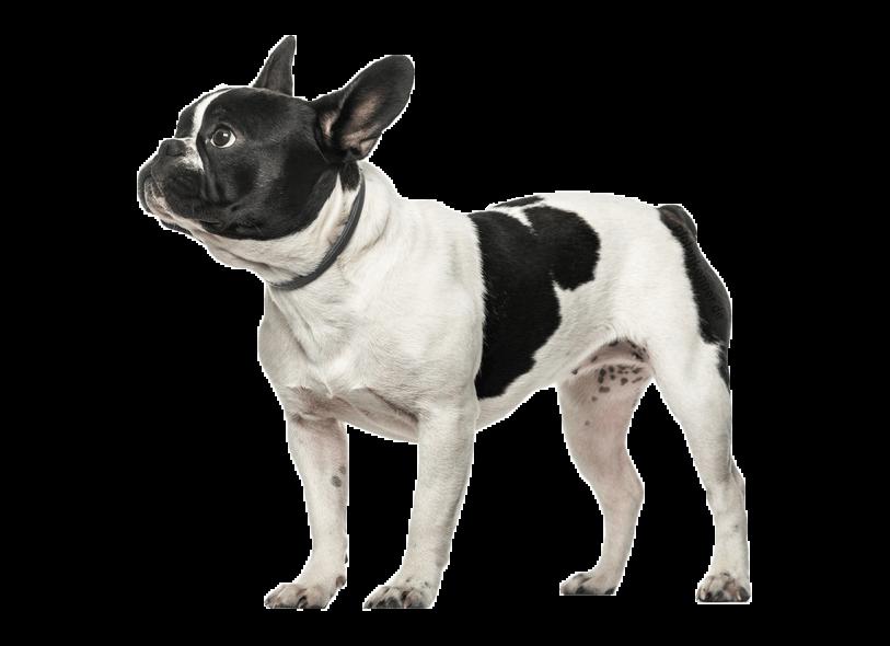 Französische Bulldogge blickt nach Links