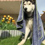 Husky mit Hundehandtuch über dem Kopf